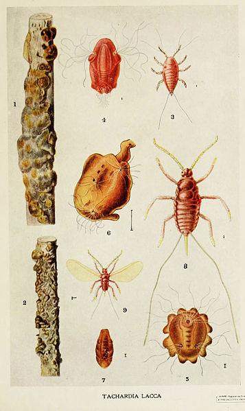 357px-02-Indian-Insect-Life_-_Harold_Maxwell-Lefroy_-_Kerria-Lacca